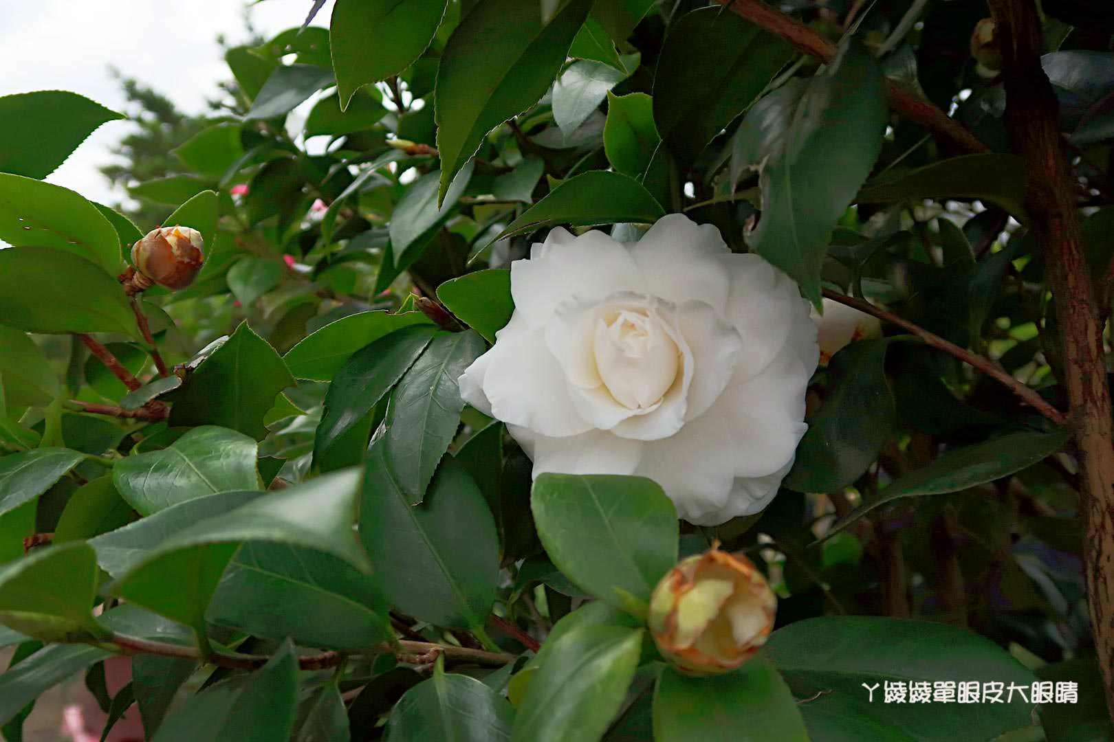 新竹旅遊景點|全國最大茶花展在新竹!《佳信茶花園》用心投入的在地花農