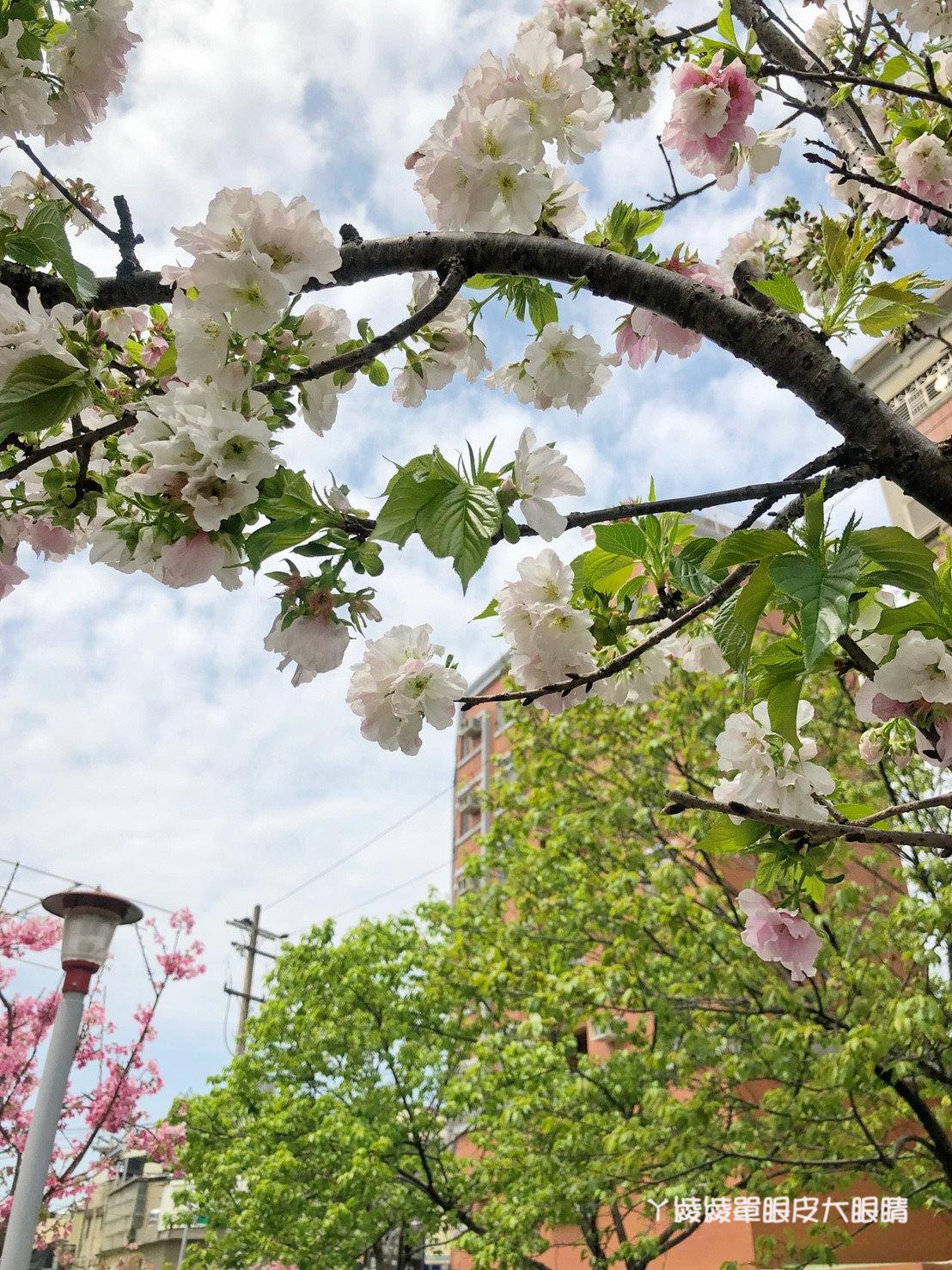 新竹免費賞櫻新熱點|新竹東南街櫻花步道,建華里粉紅色小徑最新花況