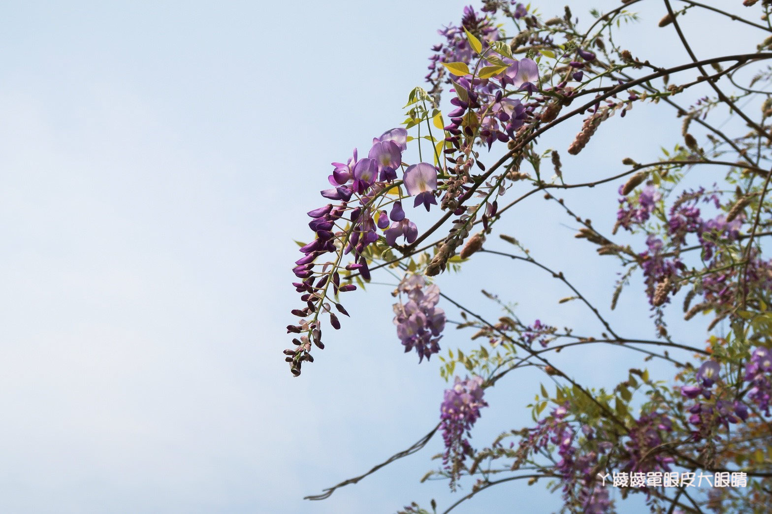 紫藤花浪漫來襲!新竹免費欣賞夢幻紫藤花海的旅遊景點,還有兩層樓高的彩色瀑布溜滑梯