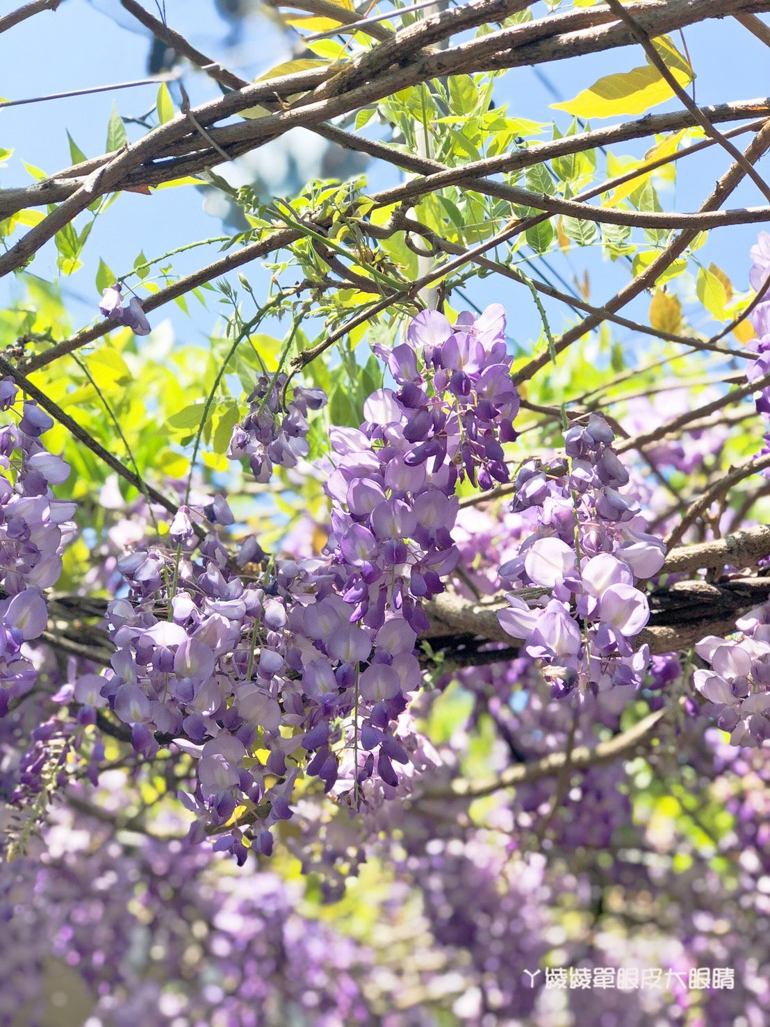 新竹旅遊景點!紫藤花盛開,新埔紫藤居限時開放,免費參觀夢幻紫色花瀑