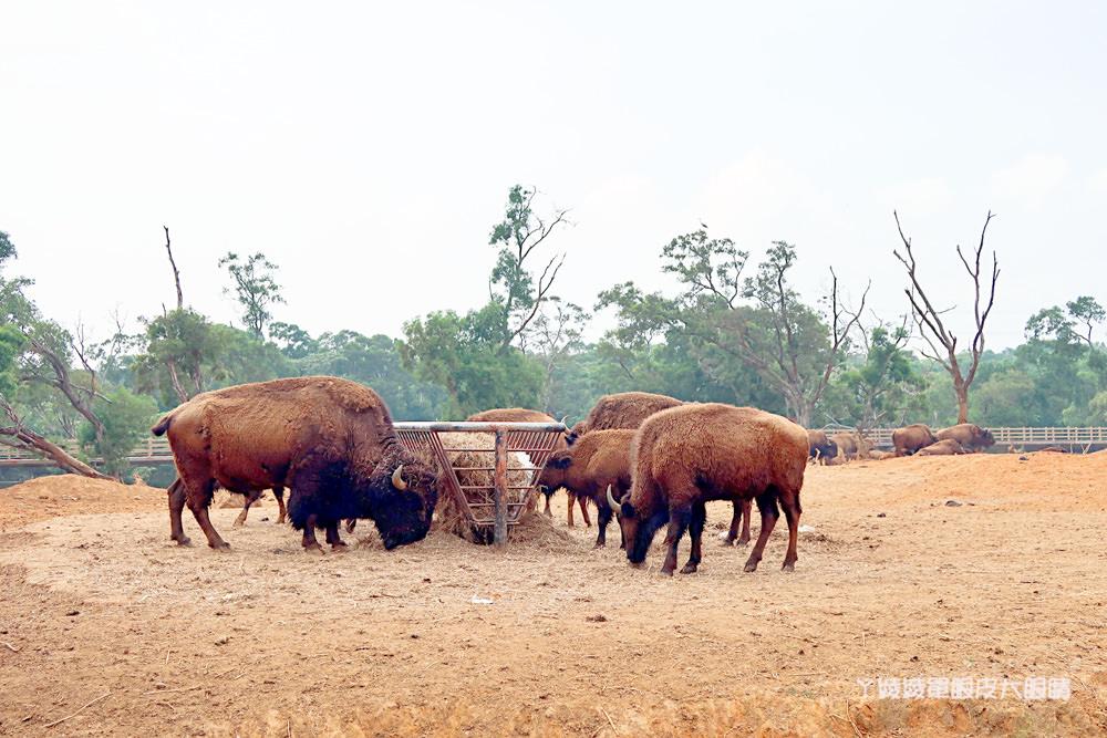新竹關西旅遊景點,獅子王中的丁滿來到六福村主題遊樂園了!