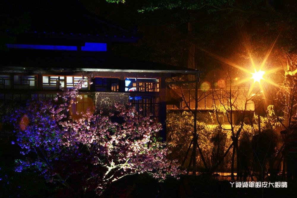 2019新竹公園櫻花季!新竹旅遊景點,新竹麗池公園櫻花最新花況!