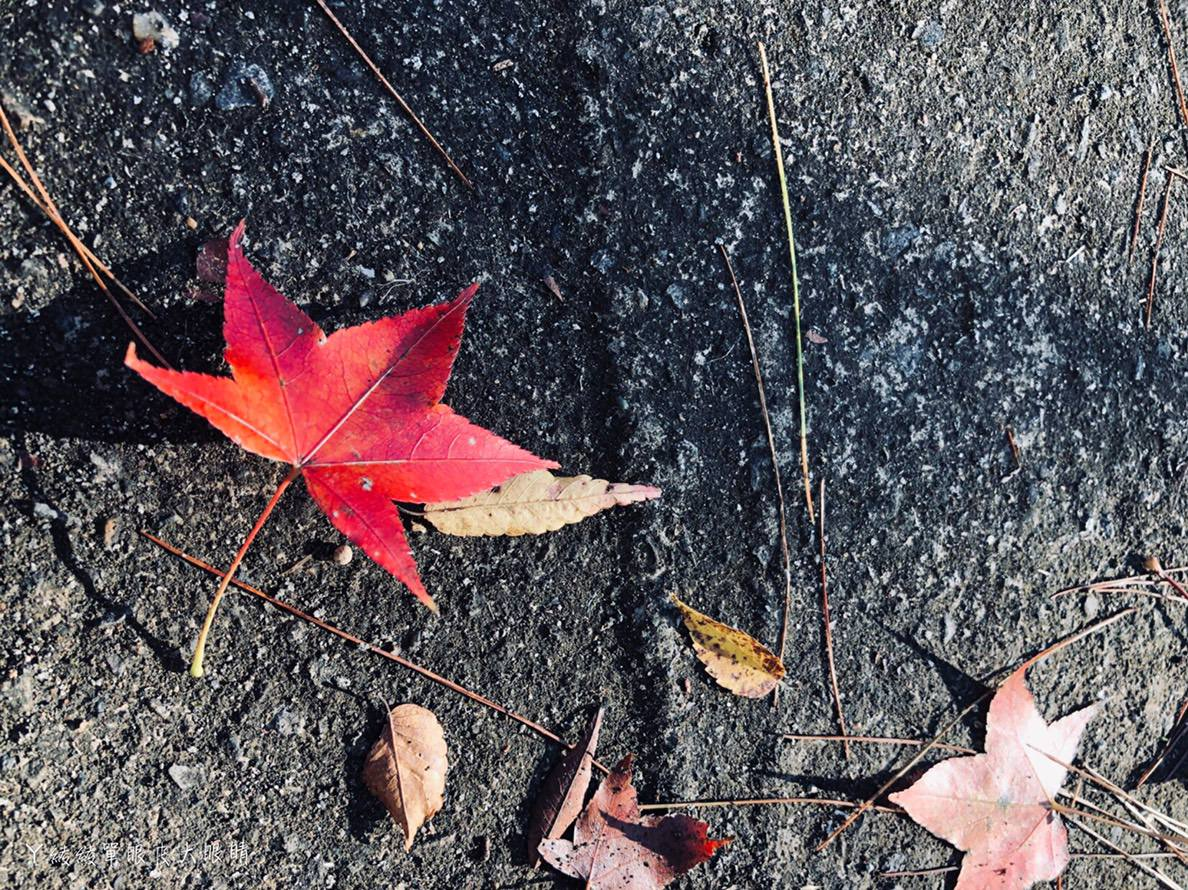 新竹楓葉逐漸轉紅!新竹尖石秀巒軍艦岩吊橋遠眺楓樹林,賞楓泡湯旅遊行程懶人包