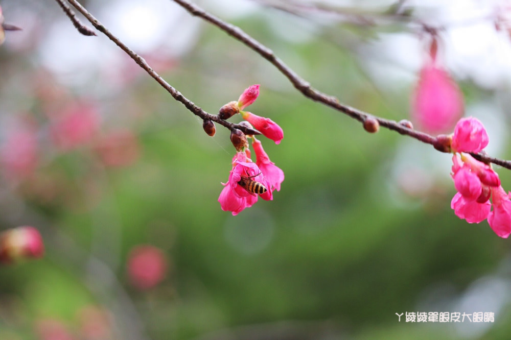 新竹內灣合興車站櫻花開了!鐵道旁呈現粉紅浪漫氣息,美呆了!