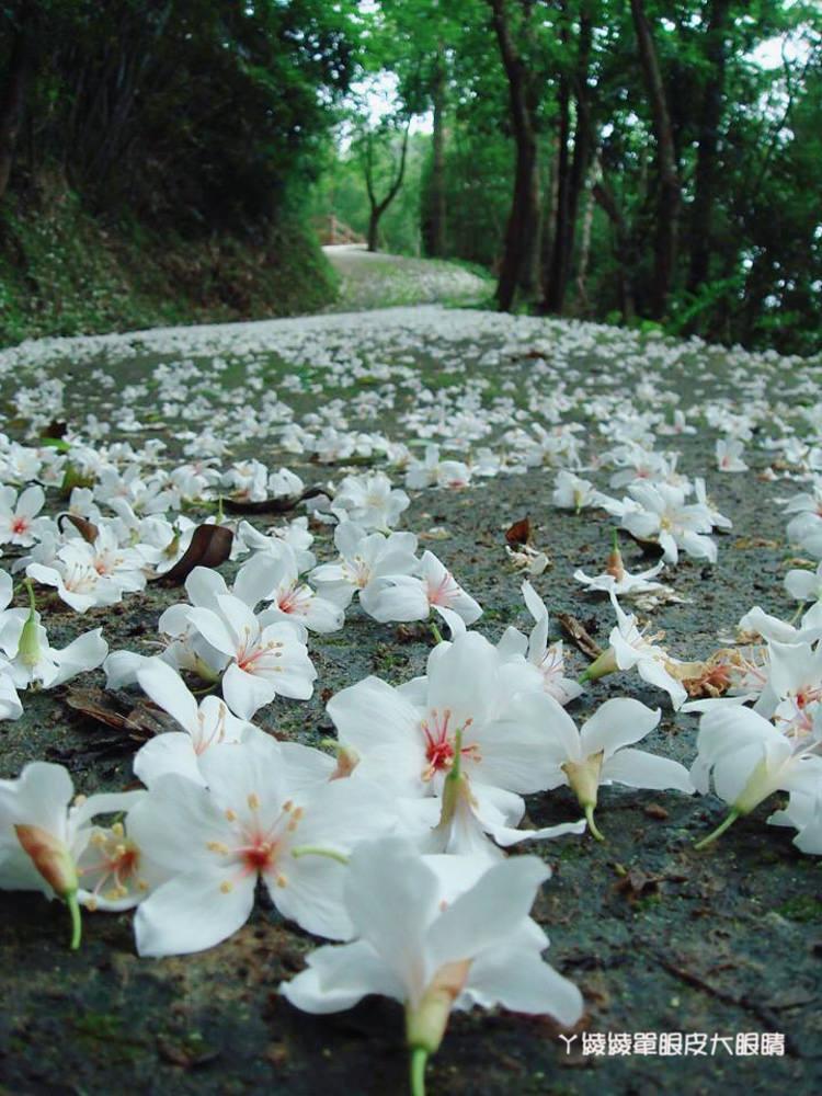 新竹賞桐花景點懶人包!三十七個油桐花地點大公開,四月雪悄悄出現