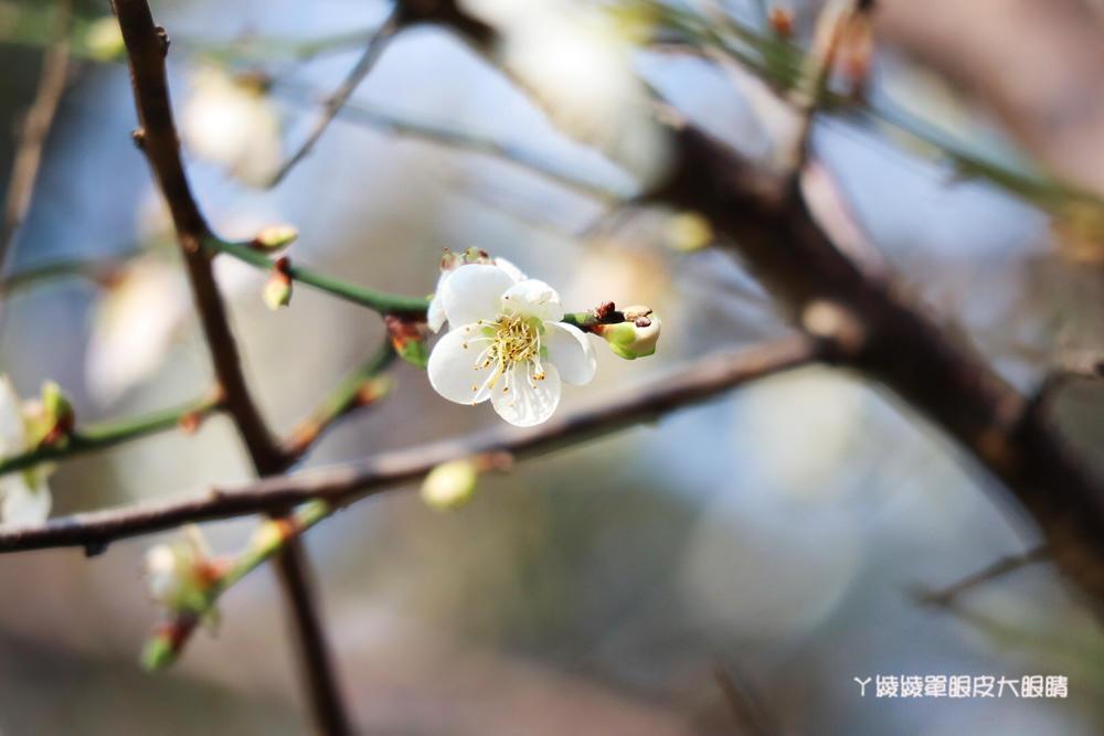 2020新竹清大梅園梅花開了!持續更新梅花花況,清大附近美食懶人包資訊整理