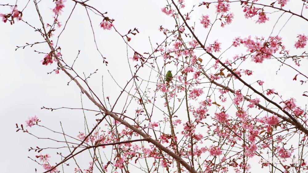 2020新竹尖石司馬庫斯櫻花花況!超夢幻浪漫的粉紅秘境,上帝的部落逾千棵櫻花綻放宛若仙境