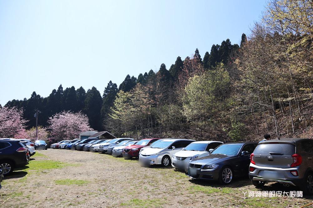 新竹五峰山上人家森林農場櫻花大爆發,超美雲海與粉紅櫻花林如人間仙境!新竹賞櫻景點推薦