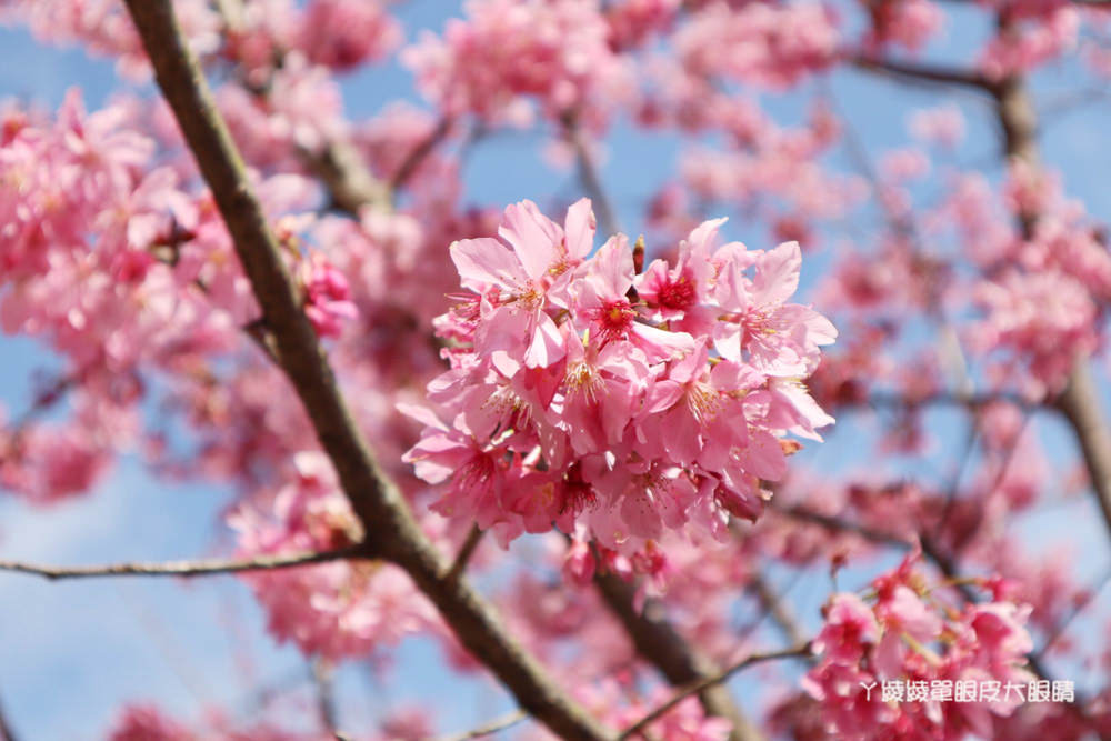 新竹五峰山上人家櫻花大爆發,超美雲海與粉紅櫻花林如人間仙境!新竹賞櫻景點推薦