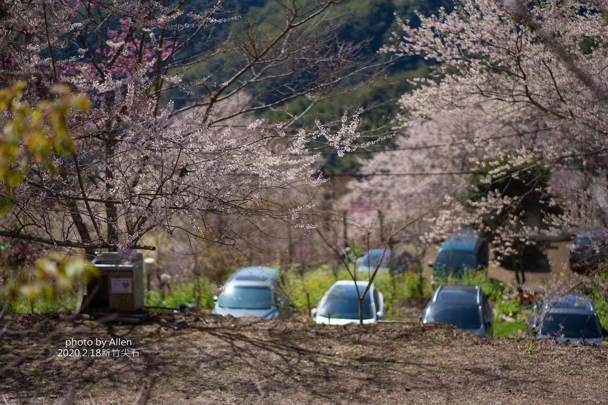 新竹賞櫻秘境|萬里山園,被稱為遠得要命的賞櫻秘境!賞櫻期進入倒數錯過再等明年