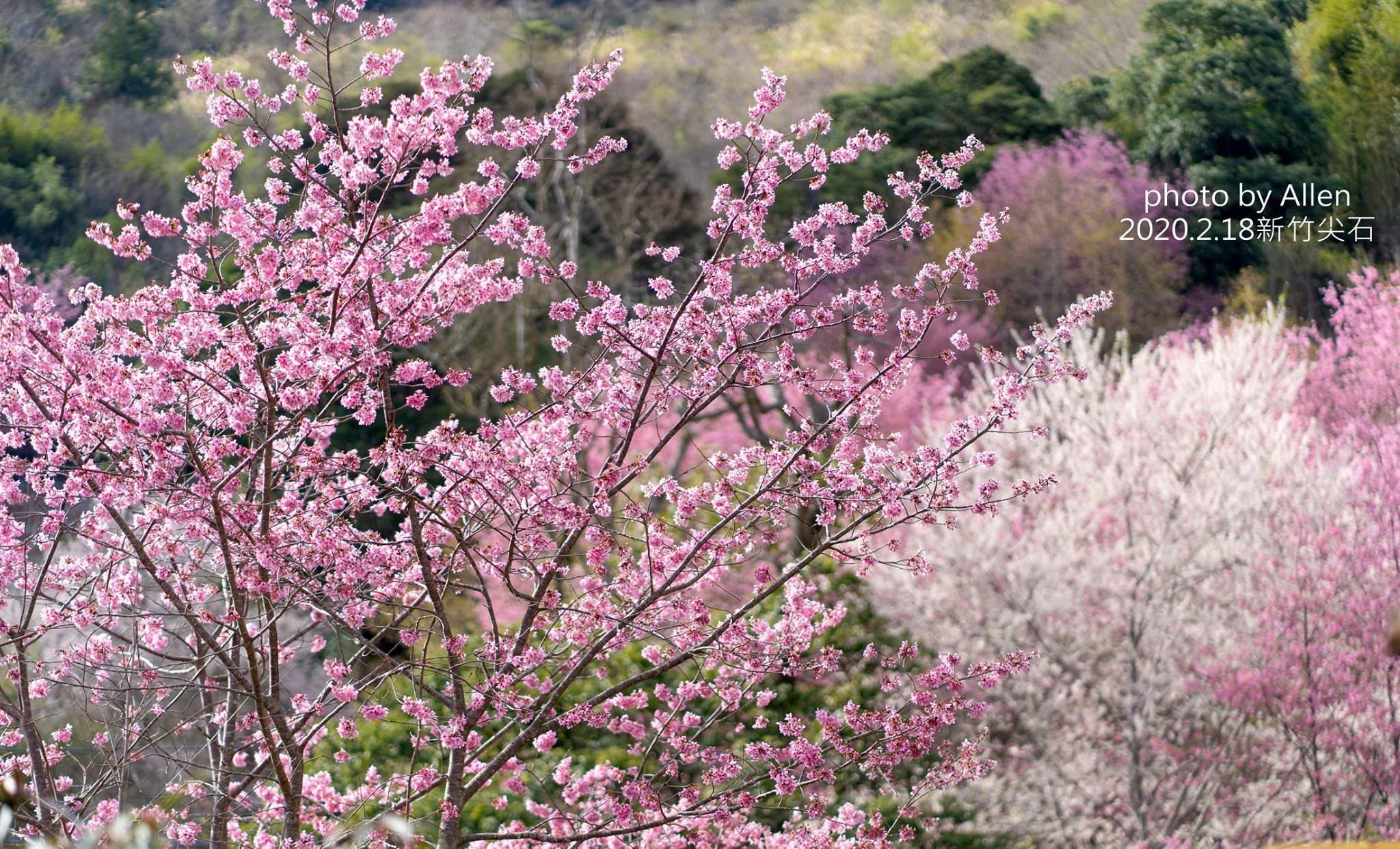 被稱為遠得要命的賞櫻秘境!新竹櫻花景點萬里山園,進入賞櫻期櫻花大爆發中,錯過再等明年