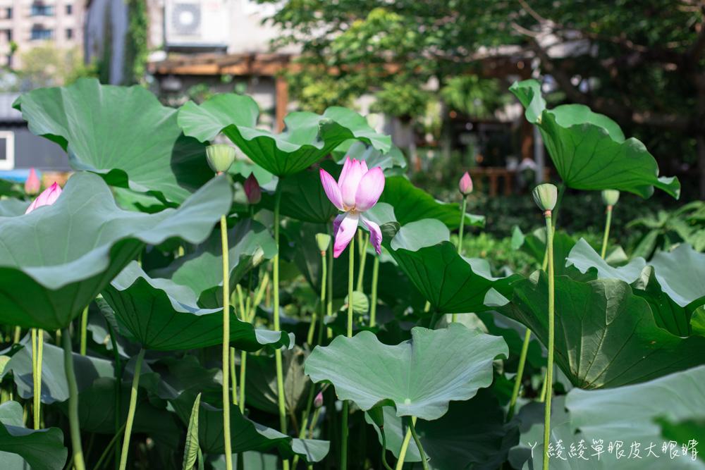 新竹免費旅遊景點!竹北新瓦屋比人還要高的金黃色向日葵花海熱情綻放中