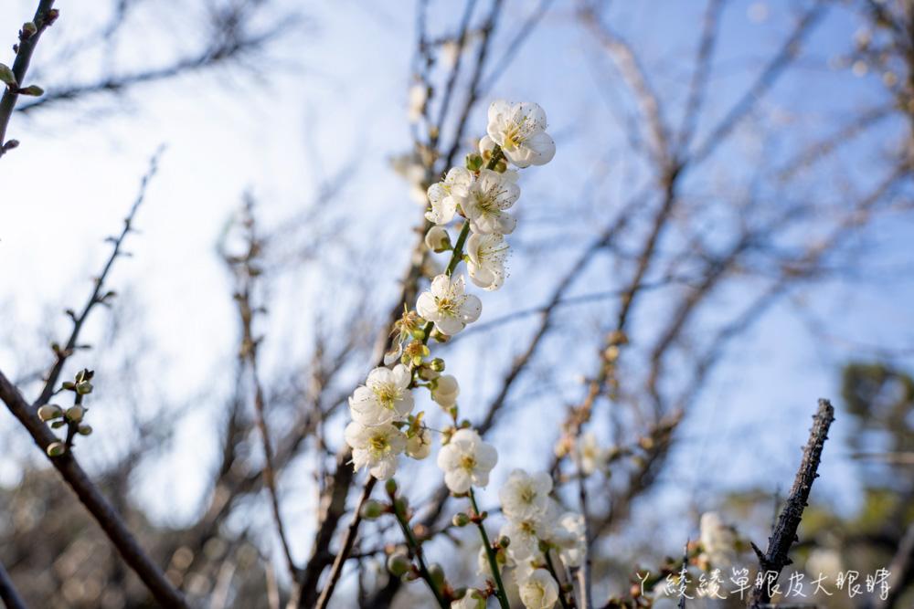 寒流來襲越冷越開花!新竹清大梅園梅花花況最新報導,梅花幾乎滿開把握賞梅好時機