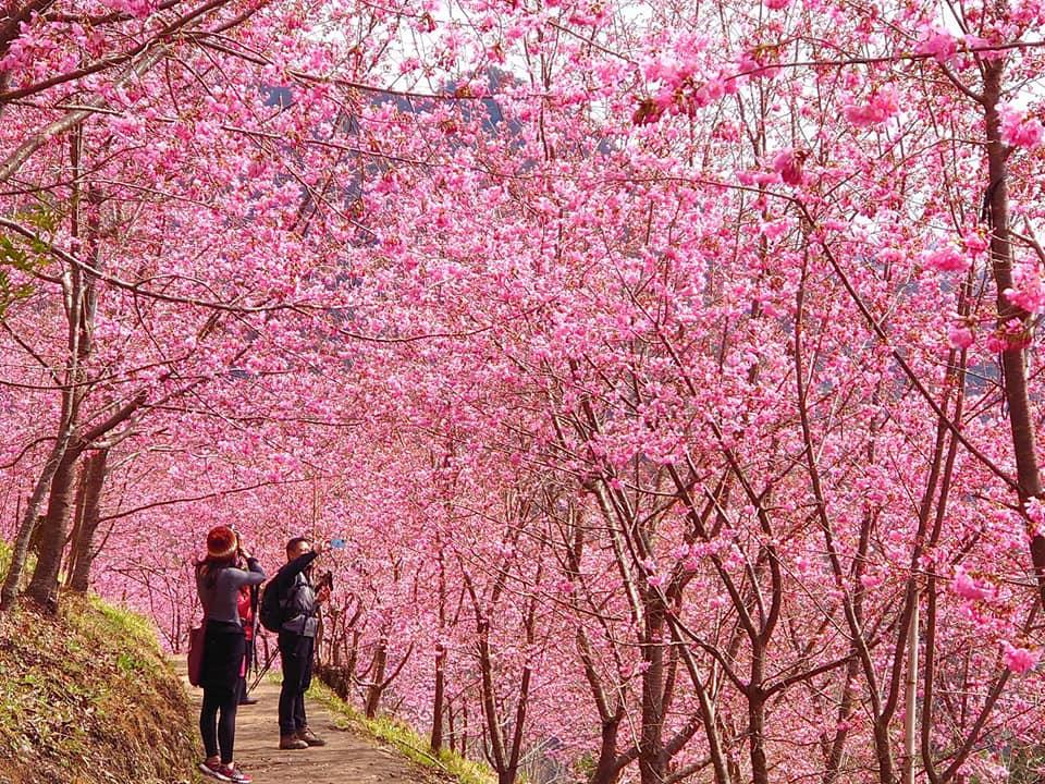 美翻!新竹司馬庫斯櫻花季浪漫開跑,上帝的部落櫻花盛開中!粉紅仙境追起來